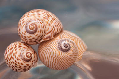 Spiral Photograph - Moon Shells by Carol Leigh