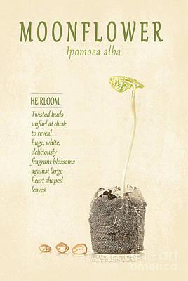 Moonflower Vine Seedling  Art Print by Anne Kitzman