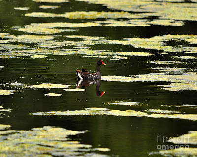Moorhen Photograph - Moorhen Reflection by Al Powell Photography USA