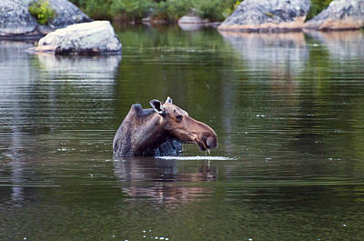 Photograph - Moose 1 by Glenn Gordon