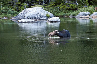Photograph - Moose 2 by Glenn Gordon