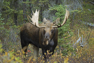 Moose Alces Alces In The Forest Alberta Art Print by Philippe Widling