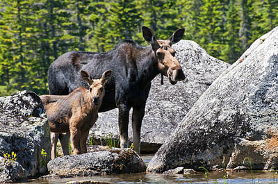 Photograph - Moose And Baby by Glenn Gordon