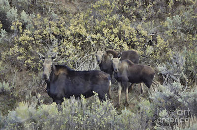 Photograph - Moose And Calves II by Donna Greene