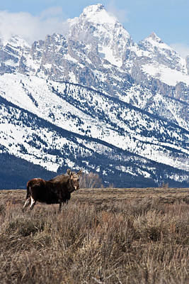 Photograph - Moose And Grand Teton Grand Teton National Park by Benjamin Dahl