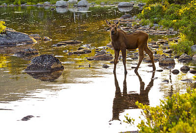 Photograph - Moose Baby 2 by Glenn Gordon