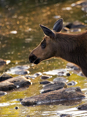 Photograph - Moose Baby 3 by Glenn Gordon