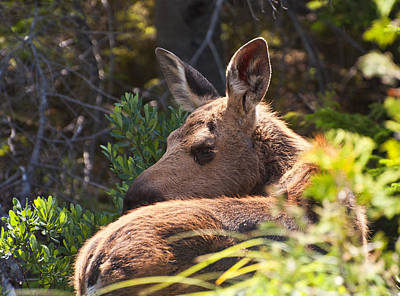 Photograph - Moose Baby 5 by Glenn Gordon