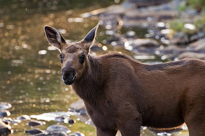 Photograph - Moose Baby by Glenn Gordon