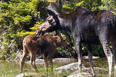 Photograph - Moose Brunch by Glenn Gordon