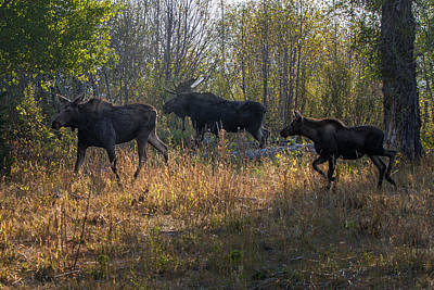 Photograph - Moose Family by Ronald Lutz