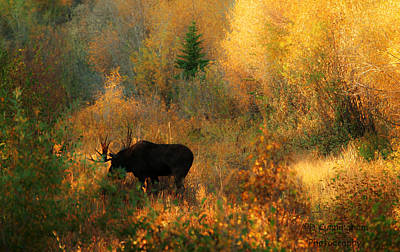 Photograph - Moose In The Autumn Woods by Dorothy Cunningham