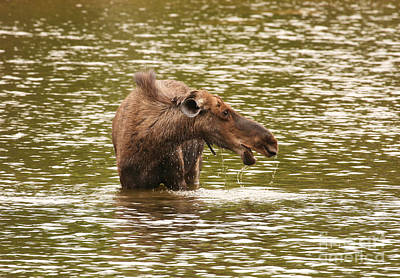 Photograph - Moose In The Lake by Jeannette Hunt