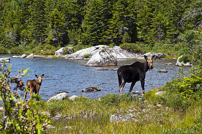 Photograph - Moose Morning Stroll by Glenn Gordon