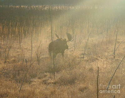 Photograph - Moose On A Mission by Adam Owen