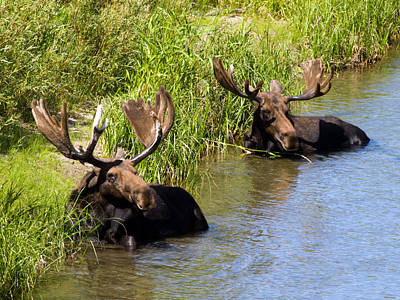 Photograph - Moose Resting In The Snake River by Phil Stone