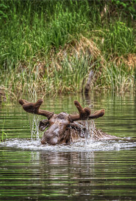 Moose Photograph - Moose Submerged  by Thomas Payer