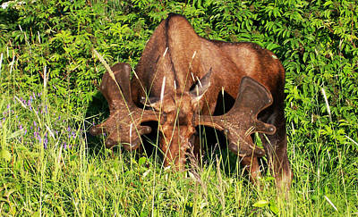 Photograph - Moosehead by Aimee L Maher Photography and Art Visit ALMGallerydotcom