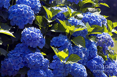 Mophead Hydrangeas Dry Brushed Art Print by Sharon Talson
