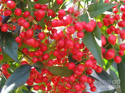 Photograph - More Red Berries by Rod Ismay