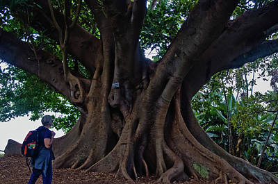 Photograph - Moreton Bay Fig Tree Sydney Royal Botanic Garden by Harry Strharsky