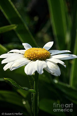 Photograph - Morning Daisy by Susan Herber