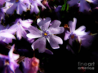 Photograph - Morning Dew Creeping Phlox 2 by Ms Judi