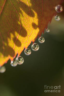 Photograph - Morning Dew Drops by Nancy Greenland