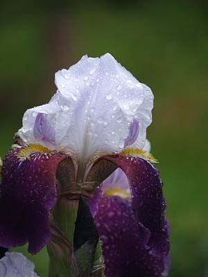 Morning Dew Iris Art Print