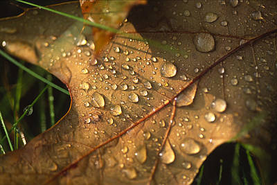 Photograph - Morning Dew On Oak Leaf by Bernard Lynch