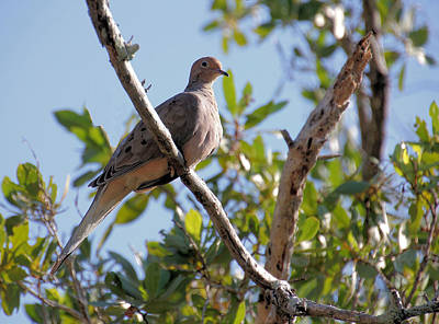 Beers On Tap - Morning Dove by Rosalie Scanlon