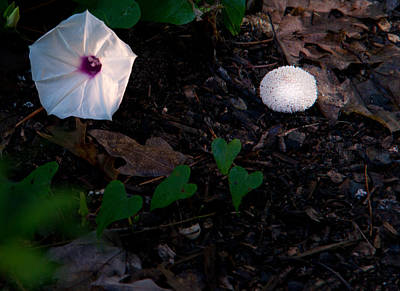 Morning Glory And Mushroom Art Print by Douglas Barnett