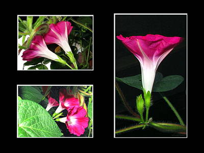 Photograph - Morning Glory Collage 1 by Joyce Dickens