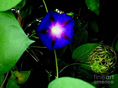 Morning Glory Glory Art Print by Marilyn Magee