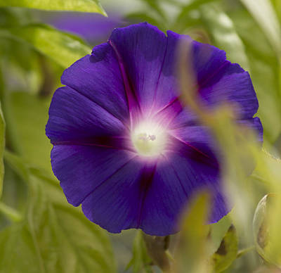 Photograph - Morning Glory by Shelley Bain