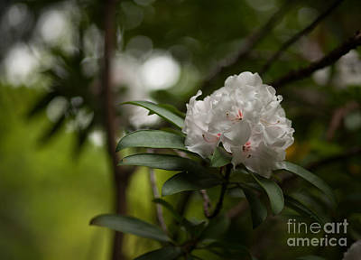 Rhodies Photograph - Morning Grace by Mike Reid