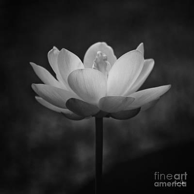 Morning Lotus Art Print by Scott Pellegrin