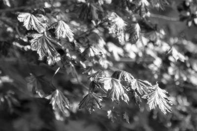 Photograph - Morning Maple Shimmer In Black And White by Mark J Seefeldt