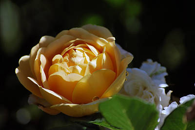 Photograph - Morning Rose by Amee Cave