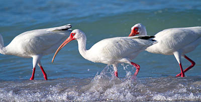 Ibis Photograph - Morning Stroll by Betsy Knapp