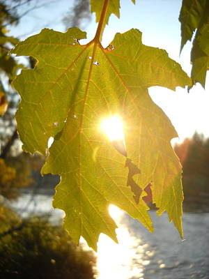 Photograph - Morning Sun Thru Maple Leaf by Kent Lorentzen