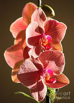 Photograph - Morning Sunshine Orchids by Carol Groenen