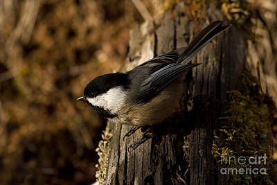 Blackcap Photograph - Morning Sunshine by Beve Brown-Clark Photography