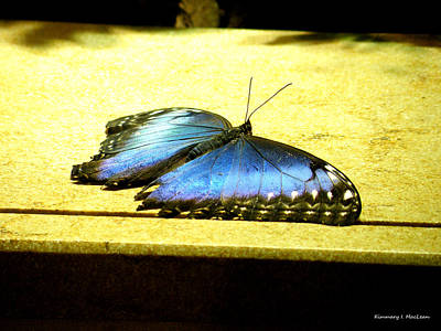 Ebsq Digital Wall Art - Photograph - Morpho Butterfly by Kimmary MacLean