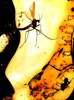 Baltic Amber Photograph - Mosquito In Amber by Dirk Wiersma