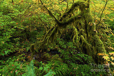 Photograph - Moss In The Rainforest by Adam Jewell