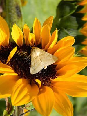 Moth And Sunflower Buffet Original