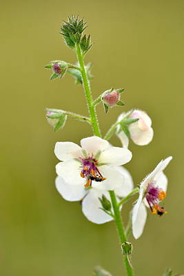 Print featuring the photograph Moth Mullein by JD Grimes