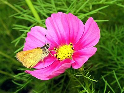 Photograph - Moth On A Cosmos by Will Borden
