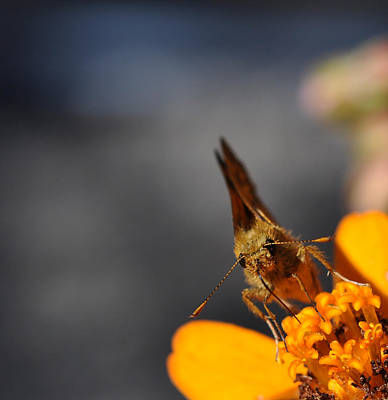 Art Print featuring the photograph Moth On A Zinnia Blossom by Ronda Broatch